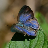 IMG 4266-Butterfly Mexico Hairstreak crop160x160