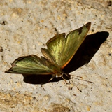 IMG 4372 -Butterfly Mexico crop160x160