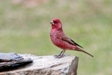Caucasian Great Rosefinch-Ecotours-Kondor EcoLodge-Hungary-583-rubicilla-large