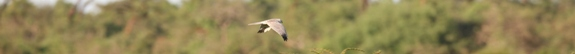 IMG 6190-Pallid Harrier-csik-NEWS-575x54