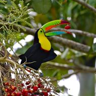S04A4574 - Panama Keel-billed Toucan