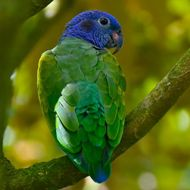 S04A4718-Panama-Blue-headed Parrot
