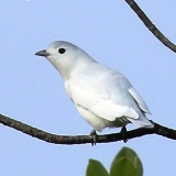 S05A7534-Snowy Cotinga male-E-closer-160x160
