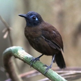 S05A7618-Chestnut-backed Antbird-crop160x160