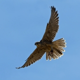 Saker Falcon Phototour Howard Birley Ecotours Kondor EcoLodge