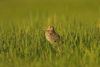 Great Snipe-Ecotours-KondorEcoLodge-Hungary-010